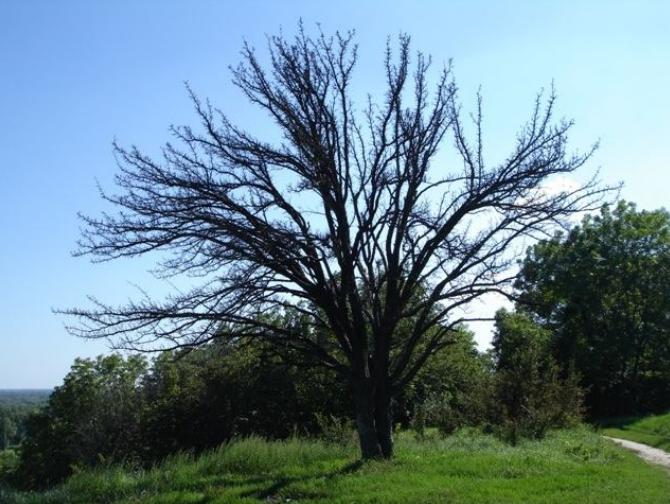 Те саме дерево...